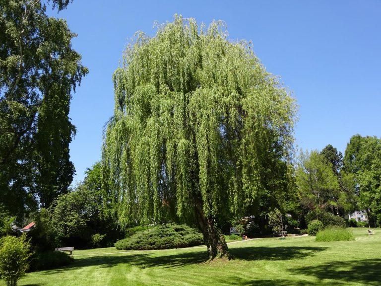 Weide im Park