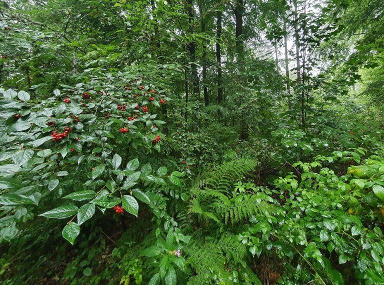 Artenreicher Forst in Schönwald, der seit rund 40 Jahren im Sinne des Konzepts der naturnahen Waldbewirtschaftung entwickelt wird. - Foto: Stadt Taunusstein