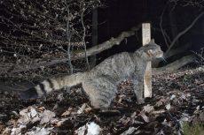 Wildkatze am Lockstock (Foto: blickpunkt natur - Helmut Weller)